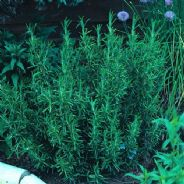 Rosemary - Rosmarinus Officinalis 5 grams - Bulk Discounts available